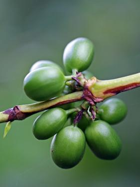 Coffee Beans Growing at Finca (Plantation) on Ruta De Las Siete Cascadas by Paul Kennedy