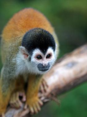 Squirrel Monkey (Saimiri Sciureus) by Paul Kennedy