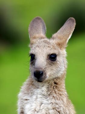Young Kangaroo (Macropus Giganteus) at Pretty Beach by Paul Kennedy