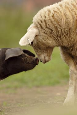Domestic Pig, British Saddleback piglet, with lamb, sniffing each other by Paul Miguel