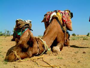 Camel Sleeping during a Desert Safari Pause by paul prescott