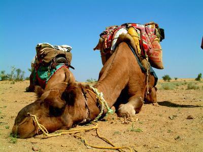 Camel Sleeping during a Desert Safari Pause