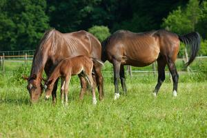 Mother, Father and Baby Horse Grazing in Field by paul prescott