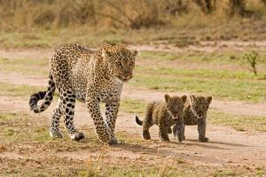 African Leopard (Panthera pardus pardus) adult female with two cubs, walking, Masai Mara, Kenya by Paul Sawer