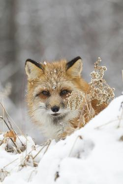 American Red Fox (Vulpes vulpes fulva) adult female, looking over snow covered hillock by Paul Sawer
