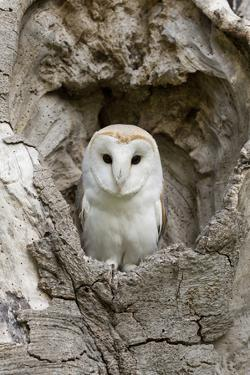 Barn Owl (Tyto alba) adult, perched in tree hollow, Suffolk, England by Paul Sawer
