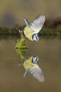 Blue Tit (Cyanistes caeruleus) adult, drinking, perched on mossy stump in water with reflection by Paul Sawer
