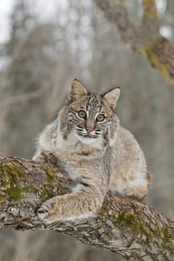 Bobcat (Lynx rufus) adult, resting on tree branch, Minnesota, USA by Paul Sawer