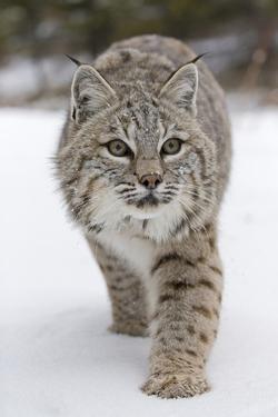 Bobcat (Lynx rufus) adult, walking on snow, Montana, USA by Paul Sawer