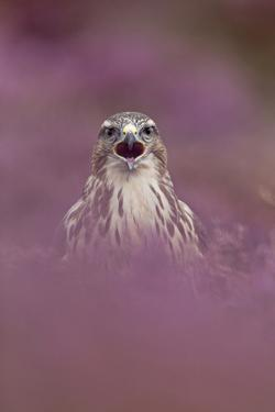 Common Buzzard (Buteo buteo) adult, calling, September (captive) by Paul Sawer