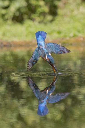 Common Kingfisher (Alcedo atthis) adult female, in flight, diving into pond, with reflection by Paul Sawer