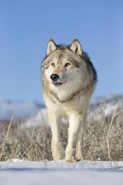 Grey Wolf (Canis lupus) adult, walking on snow, Montana, USA by Paul Sawer