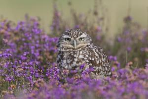 Little Owl (Athene noctua) adult, standing amongst flowering heather, Suffolk, England by Paul Sawer