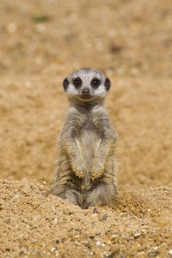 Meerkat (Suricata suricatta) baby, sitting on sand, with sandy paws from digging (captive) by Paul Sawer