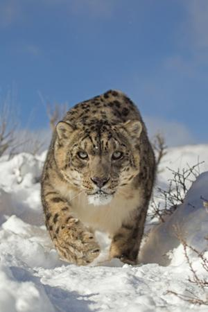Snow Leopard (Panthera uncia) adult, walking in snow, winter (captive)