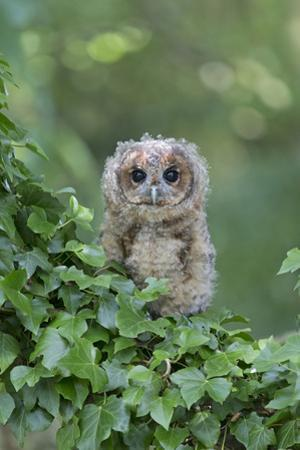 Tawny Owl (Strix aluco) juvenile, perched amongst ivy, August (captive) by Paul Sawer