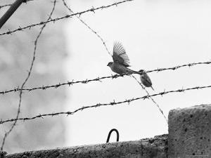 Sparrow Landing on Barbed Wire Atop the Berlin Wall by Paul Schutzer