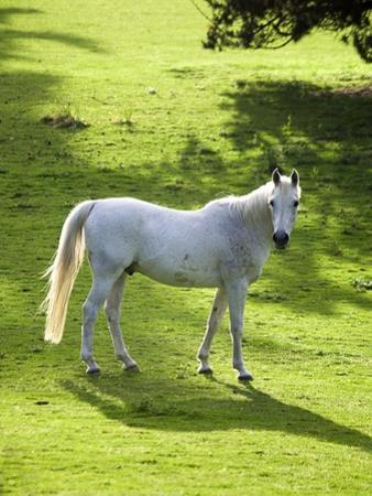 White Stallion in Grass Covered Field by Paul Seheult