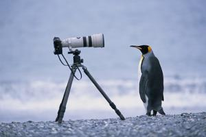 A Curious King Penguin by Paul Souders