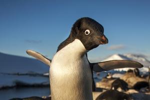 Adelie Penguin, Antarctica by Paul Souders