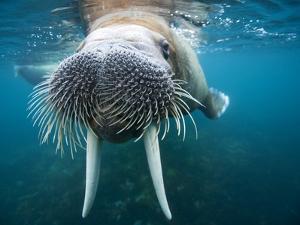Adult Male Walrus, Lagoya, Svalbard, Norway by Paul Souders