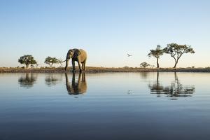 African Elephant, Chobe National Park, Botswana by Paul Souders