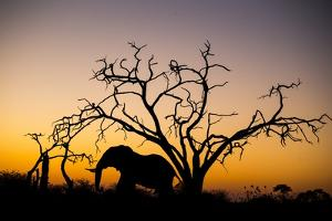 African Elephant, Chobe National Park, Botswana by Paul Souders