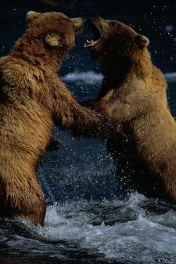 Alaskan Brown Bears in Brooks River by Paul Souders