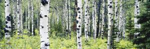 Alpine Forest of White Birch Trees, Glacier National Park, Montana, USA by Paul Souders