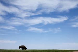 American Bison in Badlands National Park by Paul Souders