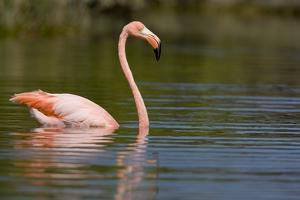 American Flamingo in Water by Paul Souders