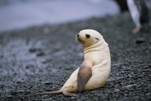 Antarctic Fur Seal Pup by Paul Souders