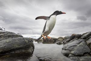 Antarctica, Cuverville Island, Gentoo Penguin leaping across channel along rocky shoreline. by Paul Souders