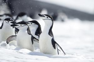 Antarctica, South Shetland Islands, Chinstrap Penguins by Paul Souders