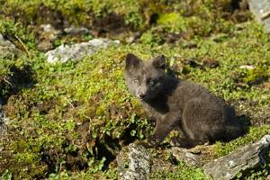 Arctic Fox, Svalbard, Norway by Paul Souders