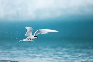 Arctic Tern Fishing in Jokulsarlon Lake by Paul Souders