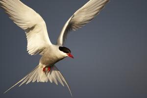 Arctic Tern in Flight by Paul Souders