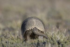 Armadillo in Patagonia, Argentina by Paul Souders
