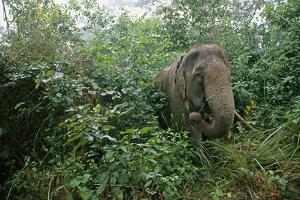 Asian Elephant Standing in Thick Brush by Paul Souders