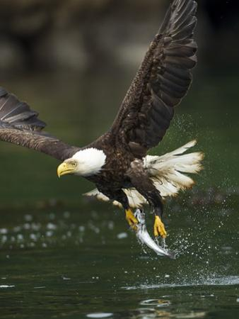 Bald Eagle, British Columbia, Canada by Paul Souders