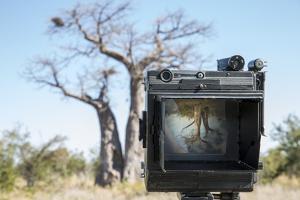 Baobab Tree Viewed Through Speed Graphic, Nxai Pan National Park, Botswana by Paul Souders