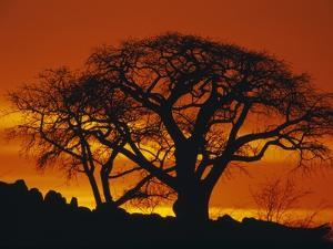 Baobab Trees at Sunset by Paul Souders