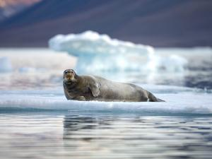 Bearded Seal Resting on Sea Ice Along Lomfjorden at Sunset, Spitsbergen Island, Svalbard, Norway by Paul Souders