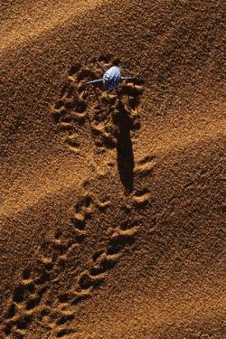 Beetle Crawling Along Sand Dune in Namibia by Paul Souders