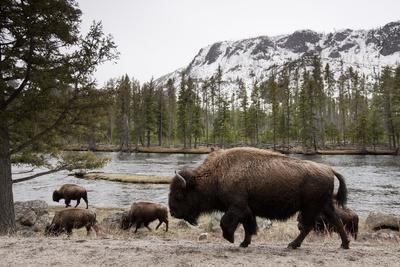 Bishon, Yellowstone National Park, Wyoming