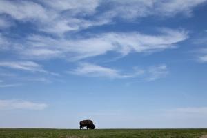 Bison, Badlands National Park, South Dakota by Paul Souders
