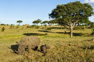 Black Rhino, Sabi Sabi Reserve, South Africa by Paul Souders