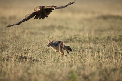 Blackbacked Jackal Chasing Tawny Eagle Near Wildebeest Kill by Paul Souders