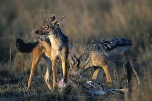 Blackbacked Jackals Eating Gazelle by Paul Souders