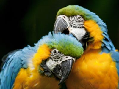Blue-and-gold Macaws at Zoo Ave Park by Paul Souders